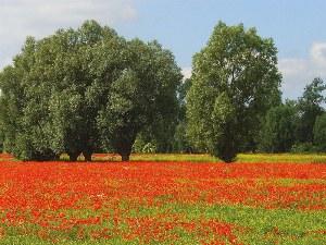 Die Mohnblumen blühen in einem satten rot