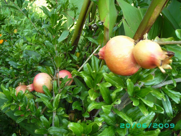 Granatäpfel wachsen in den Bergen