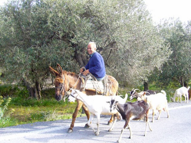 Ein Mann sitzt auf einem Esel und neben ihn gehen die Ziegen mit